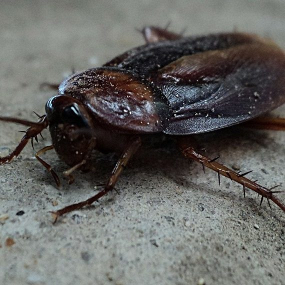 Cockroaches, Pest Control in Catford, Hither Green, SE6. Call Now! 020 8166 9746