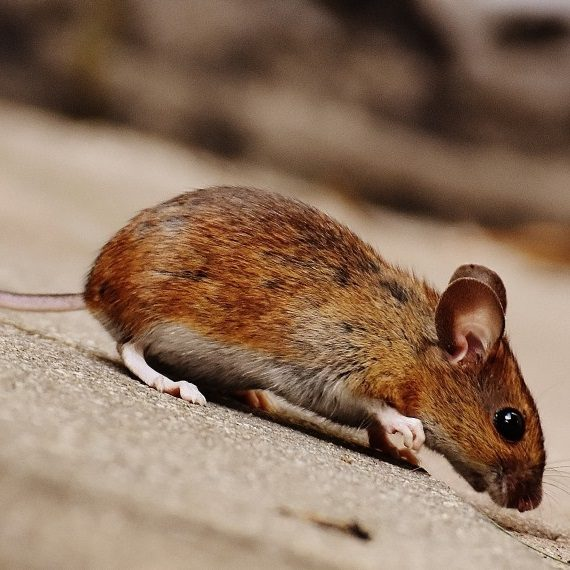 Mice, Pest Control in Catford, Hither Green, SE6. Call Now! 020 8166 9746