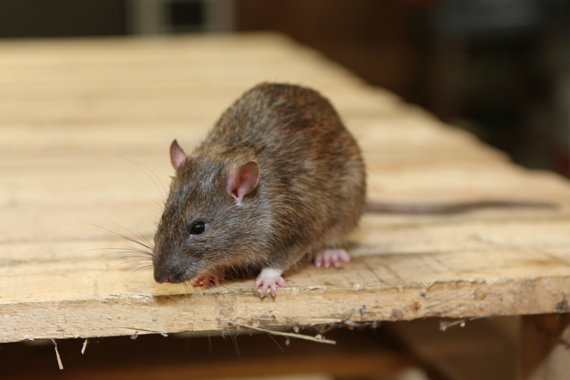 Rat Infestation, Pest Control in Catford, Hither Green, SE6. Call Now 020 8166 9746