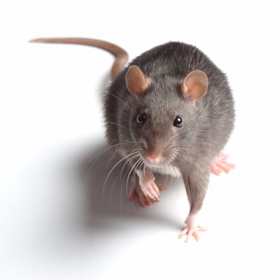 Rats, Pest Control in Catford, Hither Green, SE6. Call Now! 020 8166 9746