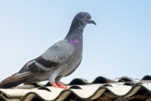 Pigeon Control, Pest Control in Catford, Hither Green, SE6. Call Now 020 8166 9746
