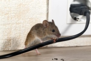 Mice Control, Pest Control in Catford, Hither Green, SE6. Call Now 020 8166 9746