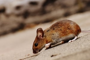 Mouse extermination, Pest Control in Catford, Hither Green, SE6. Call Now 020 8166 9746